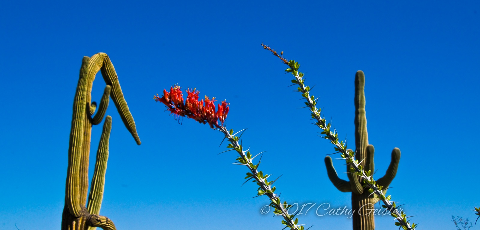 Occotillo blossoms among the saguaros