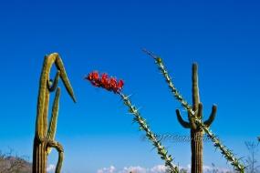 Occotillo blossoms among the saguaros