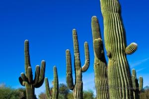 Saguaro Cactus