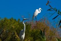 Egrets at Gilbert's Riparian Preserve