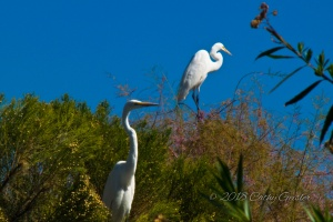 Egrets at Gilbert's Riparian Preserve